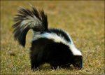 The Lynchburg Skunk